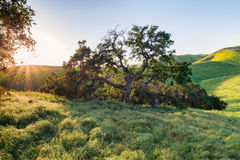 Eiken boom bij zonsondergang met gouden rollende heuvels stock fotografie