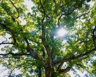 Eiken boom cannopy achtergrond stock foto