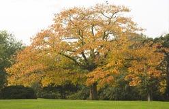 Eiken Boom in de Herfst Stock Afbeeldingen