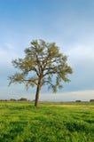Eiken boom in de lente stock fotografie