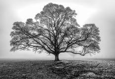 Eiken boom in de mist stock afbeelding