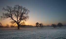 Eiken boom in de vorst bij zonsopgang royalty-vrije stock foto's