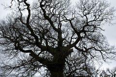 Eiken boom in de winter Royalty-vrije Stock Afbeeldingen