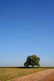 Eiken boom in de zomer Stock Foto's