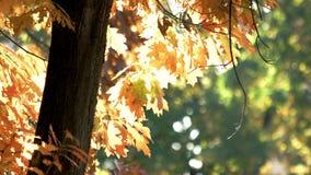 Eiken boom dichte omhooggaand stock videobeelden