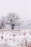 Eiken boom die in sneeuw wordt behandeld stock foto's