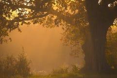 Eiken boom die zich alleen bevindt Stock Foto