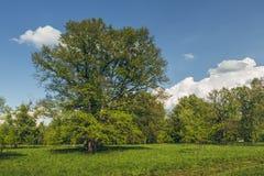 Eiken boom in een open plek Stock Fotografie
