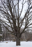 Eiken boom in een stadspark Stock Fotografie