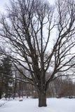 Eiken boom in een stadspark Stock Afbeelding