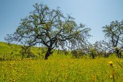 Eiken boom en gebied van bloesembloemen stock afbeelding