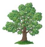 Eiken boom en groen gras Stock Afbeelding
