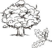 Eiken boom en tak met eikel Royalty-vrije Stock Foto's