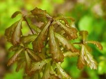 Eiken boom jonge bladeren Stock Foto