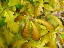 Eiken boom jonge bladeren Stock Fotografie