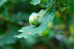 Eiken boom met eikel in de vroege herfst Royalty-vrije Stock Afbeelding