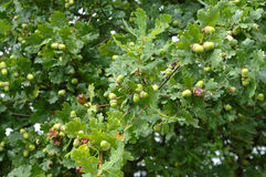 Eiken boom met eikel in de vroege herfst Royalty-vrije Stock Foto's