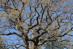 Eiken boom met sterke takken stock afbeelding