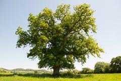 Eiken boom op een gebied Stock Foto's
