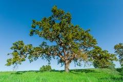 Eiken boom op een grasrijke heuvel op gebied Stock Afbeeldingen