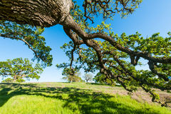 Eiken boom op een grasrijke heuvel op gebied Stock Foto's