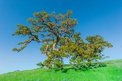 Eiken boom op een grasrijke heuvel op gebied Stock Foto