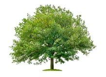 Eiken boom op een witte achtergrond Stock Afbeelding