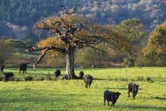 Eiken boom op gebied Stock Afbeeldingen