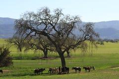 Eiken boom op gebied met paarden Royalty-vrije Stock Foto