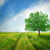 Eiken boom op het gebied Stock Fotografie