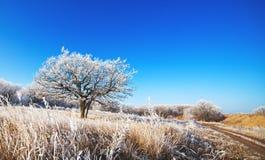 Eiken boom op het gebied Stock Afbeelding