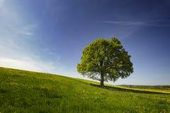 Eiken boom in platteland royalty-vrije stock afbeelding