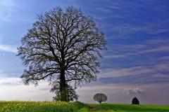 Eiken boom in platteland bij de lenteachtergrond Royalty-vrije Stock Afbeelding