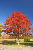 eiken boom, Quercus Royalty-vrije Stock Afbeeldingen