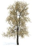 Eiken boom - Quercus borealis (Rubra) 60 ' Stock Foto's