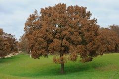 Eiken boom typisch van het platteland van Puglia Stock Afbeelding