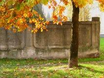 Eiken boom voor een oude muur Royalty-vrije Stock Foto