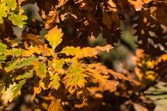 Eiken boombladeren in de herfstkleuren Stock Afbeelding