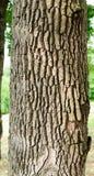 Eiken boomboomstam met schors Stock Afbeeldingen