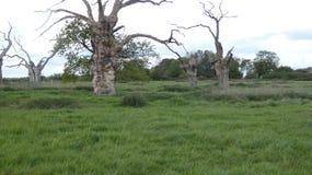 Eiken Boomdryades in een oude van angst verstijfde bosdag in Engels Platteland op een bewolkte dag 7 stock afbeelding