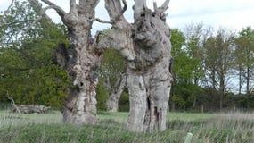 Eiken Boomdryades in een oude van angst verstijfde bosdag in Engels Platteland op een bewolkte dag 9 royalty-vrije stock afbeeldingen