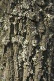 Eiken boomschors Royalty-vrije Stock Afbeeldingen