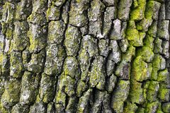 Eiken boomschors