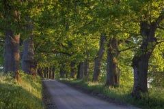 Eiken boomsteeg langs landweg bij sunse Royalty-vrije Stock Foto's