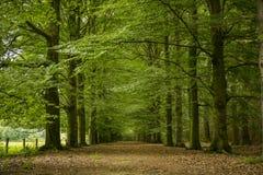 Eiken boomsteeg met weg Stock Foto's