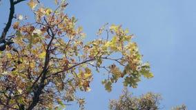 Eiken boomtak die in de wind slingeren Gele bladeren die van eiken boom zich lichtjes bewegen Blauwe hemel op de achtergrond Mooi stock videobeelden
