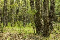 Eiken bos stock afbeelding