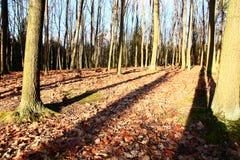 Eiken bos Stock Afbeeldingen