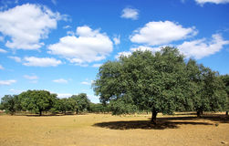 Eiken bos bij mediterraan gebied Royalty-vrije Stock Foto