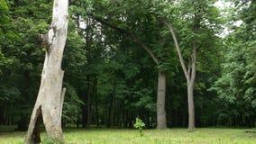 Eiken bosje, hetman Kochubey-landgoed, Baturin royalty-vrije stock afbeelding